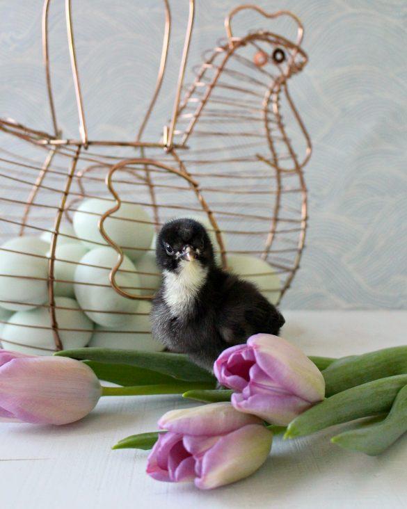 Spring Baby Chick Photos | We Got a New Batch of Chicks!