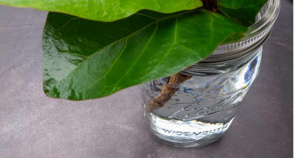 How To Propagate A Fiddle Leaf Fig Tree